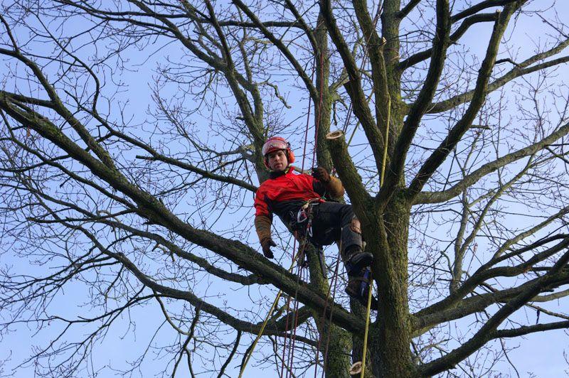 Abattage par démontage d'un Chêne à La Hulpe