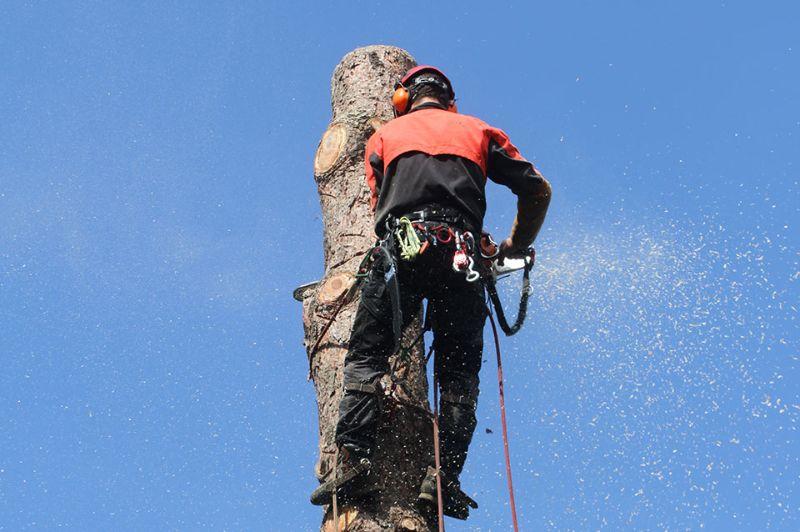 Démontage d'un pin de 20m de haut à Berchem-Saint-Agathe